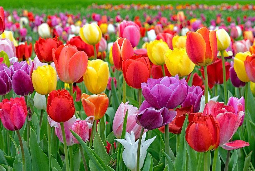 100 000 Tulipes Contre Le Cancer Annonay